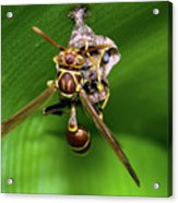 Wasp With Egg Acrylic Print