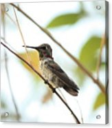 Watchful Hummingbird Acrylic Print