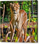 Watchful Lioness Acrylic Print