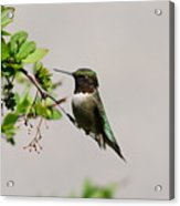 Watchful Male Hummer Acrylic Print
