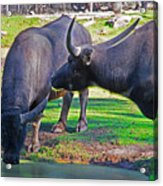 Watching 2 Water Buffalos 1 Water Buffalo Watching Me Acrylic Print