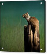Watching Out- 365-66 Acrylic Print