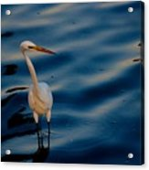 Water Bird Series 31 Acrylic Print