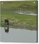 Water Buffaloe Acrylic Print