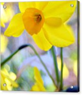 Water Color Daffodil Acrylic Print
