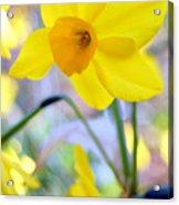 Water Color Daffodil Acrylic Print