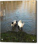 Water Dogs Acrylic Print