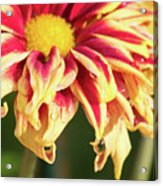 Water Drop On A Chrysanthemum Acrylic Print
