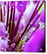 Water Droplets And Purple Flower Acrylic Print