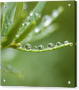 Water Droplets On Evergreen Acrylic Print