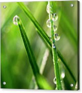 Water Drops On Spring Grass Acrylic Print