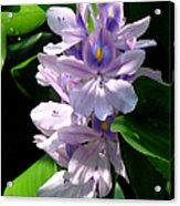 Water Hibiscus Acrylic Print