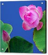 Water Lili Acrylic Print