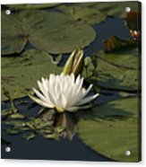 Water Lilies And Pads Acrylic Print