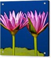 Water Lilies Touching Acrylic Print