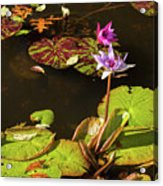 Water Lillies At Central Park Acrylic Print