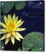 Water Lilly - 1 Acrylic Print