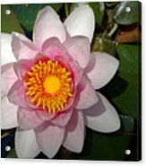 Water Lilly Beauty Acrylic Print