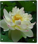 Water Lilly Dancing Acrylic Print