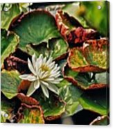 Water Lilly With Brown Pads Acrylic Print