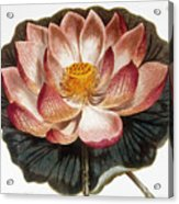 Water Lily, 1806 Acrylic Print