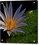 Water Lily 2 Acrylic Print by Chaza Abou El Khair