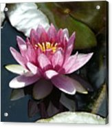 Water Lily 2 Acrylic Print