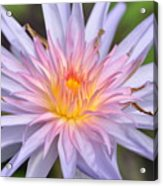 Water Lily  20 Acrylic Print