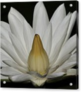 Water Lily 23 Acrylic Print