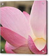 water lily 32 Pink Lotus Macro Acrylic Print