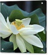 water lily 34 Yellow Lotus I Acrylic Print