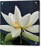 Water Lily 36 Acrylic Print