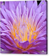 water lily 55 Ultraviolet Acrylic Print