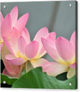 water lily 57 Pink Lotus Acrylic Print