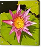 Water Lily After Rain 3 Acrylic Print
