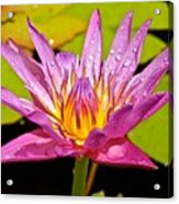 Water Lily After Rain Acrylic Print