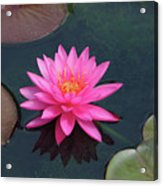 Water Lily - Afternoon Delight Acrylic Print