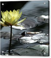 Water Lily And Silver Leaves Acrylic Print