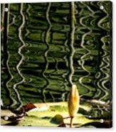 Water Lily Budd Acrylic Print