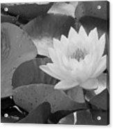 Water Lily - Burnin' Love 13 - Bw Acrylic Print