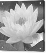 Water Lily - Burnin' Love 15 - Bw - Water Paper Acrylic Print
