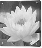 Water Lily - Burnin' Love 16 - Bw - Water Paper Acrylic Print