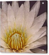 Water Lily Digital Painting Acrylic Print