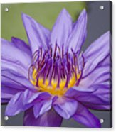 Water Lily Director George T Moore Acrylic Print