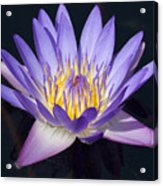 Water Lily Acrylic Print