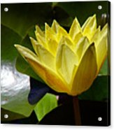 Water Lily Fc  Acrylic Print by Diana Douglass