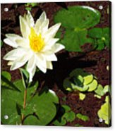 Water Lily From Private Garden Acrylic Print