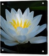Water Lily Glow Acrylic Print