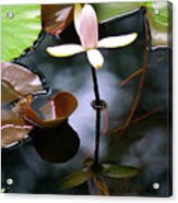 Water Lily I Acrylic Print