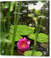Water Lily In A Pond Acrylic Print